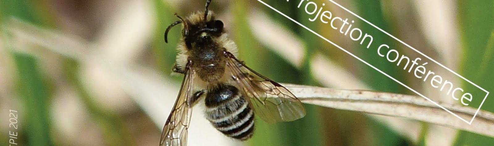 © La diversité des abeilles sauvages