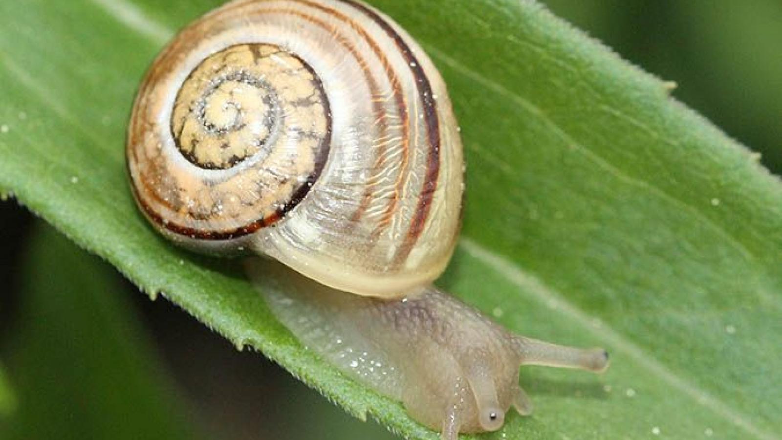 © Escargots des jardins