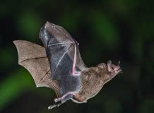 La nuit des chauves-souris du 18 juillet: dans les gorges de Ceyrat