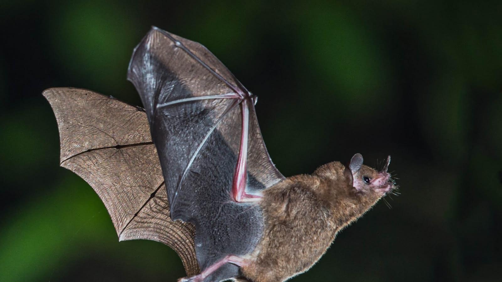 © Nuit des chauves-souris dans les volcans du sud de la Chaîne des Puys