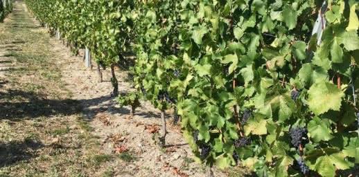Côté vignes